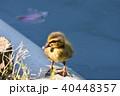 カルガモのヒナ 40448357