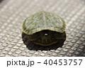 殻にこもる、ミドリガメ(幼体) 40453757