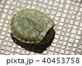殻にこもる、ミドリガメ(幼体) 40453758