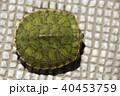 殻にこもる、ミドリガメ(幼体) 40453759