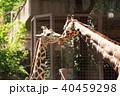 キリン 動物園 麒麟の写真 40459298