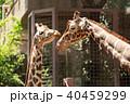 キリン 動物 動物園の写真 40459299