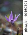春 花 植物の写真 40460301