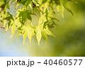 葉 新緑 モミジの写真 40460577