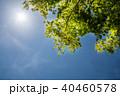 葉 モミジ 若葉の写真 40460578