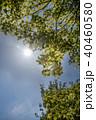 葉 モミジ 若葉の写真 40460580