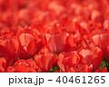 チューリップ 赤 クローズアップの写真 40461265
