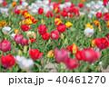 チューリップ カラフル クローズアップの写真 40461270
