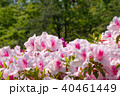 植物 花 つつじの写真 40461449