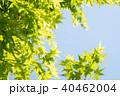 葉 新緑 モミジの写真 40462004