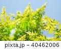 葉 新緑 モミジの写真 40462006