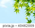 葉 新緑 モミジの写真 40462009