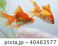 金魚 琉金 観賞魚の写真 40463577