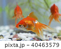 金魚 琉金 観賞魚の写真 40463579