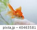 金魚 琉金 観賞魚の写真 40463581