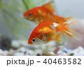 金魚 琉金 観賞魚の写真 40463582