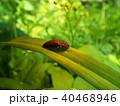昆虫 サビキコリ コメツキムシの写真 40468946