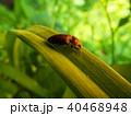 昆虫 サビキコリ コメツキムシの写真 40468948