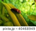 昆虫 サビキコリ コメツキムシの写真 40468949