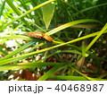 昆虫 サビキコリ コメツキムシの写真 40468987