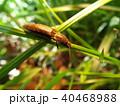 昆虫 サビキコリ コメツキムシの写真 40468988
