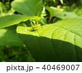 バッタ 昆虫 ヤブキリの写真 40469007