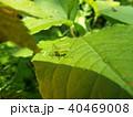 バッタ 昆虫 ヤブキリの写真 40469008