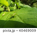 バッタ 昆虫 ヤブキリの写真 40469009