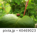 昆虫 ハムシ クロボシツツハムシの写真 40469023