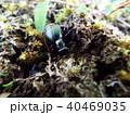 昆虫 ハンミョウ ツチハンミョウの写真 40469035