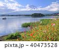 河口湖畔のコスモスと富士山-7617 40473528