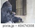 イケメン人気者ゴリラ 40474308