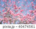 梅の花 40474561