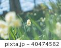 水仙 40474562