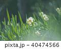水仙 40474566