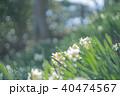 水仙 40474567
