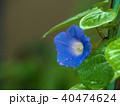 朝顔 夏 植物の写真 40474624