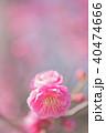 梅の花 40474666