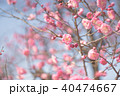 梅の花 40474667