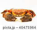 藻屑蟹 上海蟹 チュウゴクモクズガニの写真 40475964