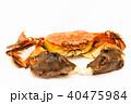 藻屑蟹 上海蟹 チュウゴクモクズガニの写真 40475984