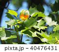 百合の木 チューリップツリー 花の写真 40476431