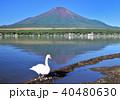 山中湖の白鳥と富士山-7549 40480630