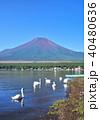 山中湖の白鳥と富士山-7555 40480636