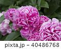 牡丹の花 40486768