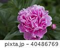 牡丹の花 40486769