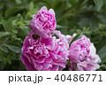 牡丹の花 40486771