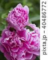 牡丹の花 40486772