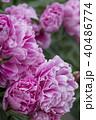牡丹の花 40486774