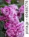 牡丹の花 40486776